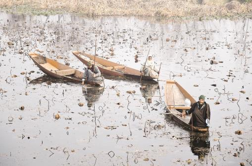 Boatmen collecting lotus stems at Nageen Lake during a cold day in Srinagar on Thursday. ANI Photo