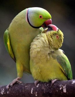 Parrots in a playful mood at Alipore zoo in Kolkata on Friday. (ANI Photo)