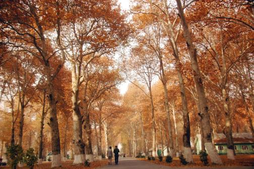 Men walk on dried Chinar leaves at a park in Srinagar on Saturday. At the end of fall, leaves of Chinar trees turn pale and finally fiery red.