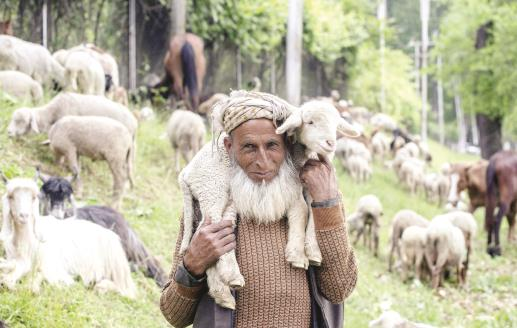 A Kashmiri nomad carry his lamb on his shoulder in Srinagar on Wednesday.  (ANI Pic)