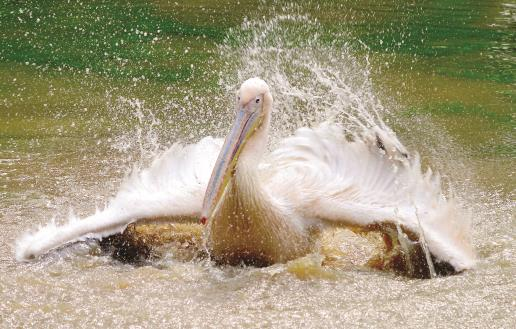 A Rosy Pelican bathing on a winter morning, in its enclosure at Assam State Zoo cum Botanical Garden in Guwahati on Sunday. ANI Photo