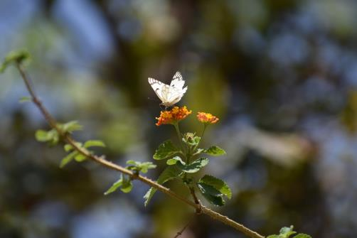 A butterfly sucks nectar out of a flower on the outskirts of Jammu.