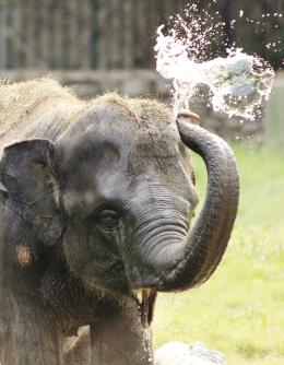 Elephant playing with water during a sunny day at Alipore Zoo in Kolkata on Sunday. (ANI)