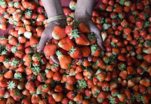A Kashmiri farmer displays strawberries after picking them from a strawberry field on the  outskirts of Srinagar on Tuesday.