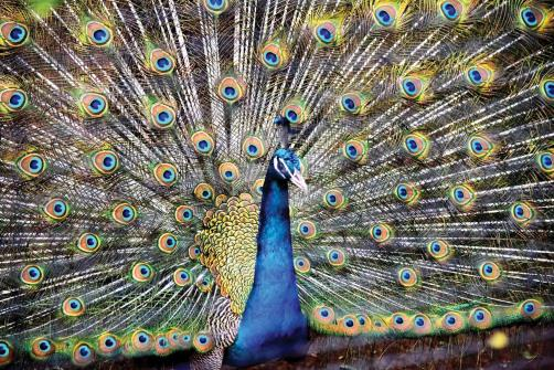A peacock displays its colourful plumage in its enclosure at Maharaj Bag Zoo during the monsoon season in Nagpur on Wednesday. (ANI Photo)