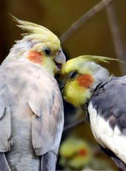 Cockatiel birds in a playful mood at Alipore zoo in Kolkata on Wednesday.  (ANI Photo)