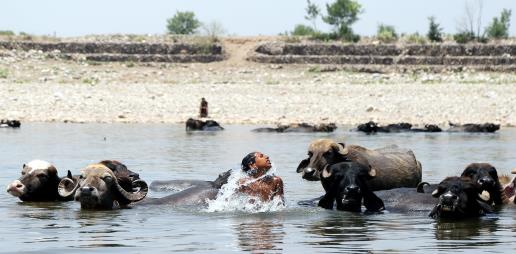 A boy with his buffaloes cool off in the Tawi River on a hot day on the outskirts of Jammu on Tuesday.
